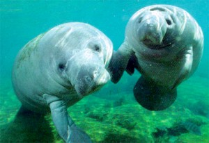 The Crystal River Manatees