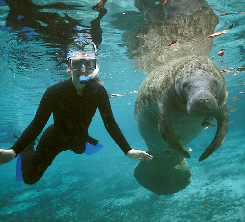 Swim With Manatees Manatee Tours Crystal River
